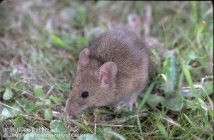 house_mouse_uc
